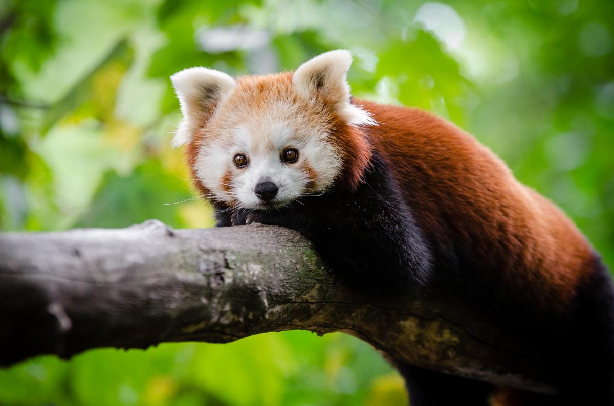 Panda Deutschland
