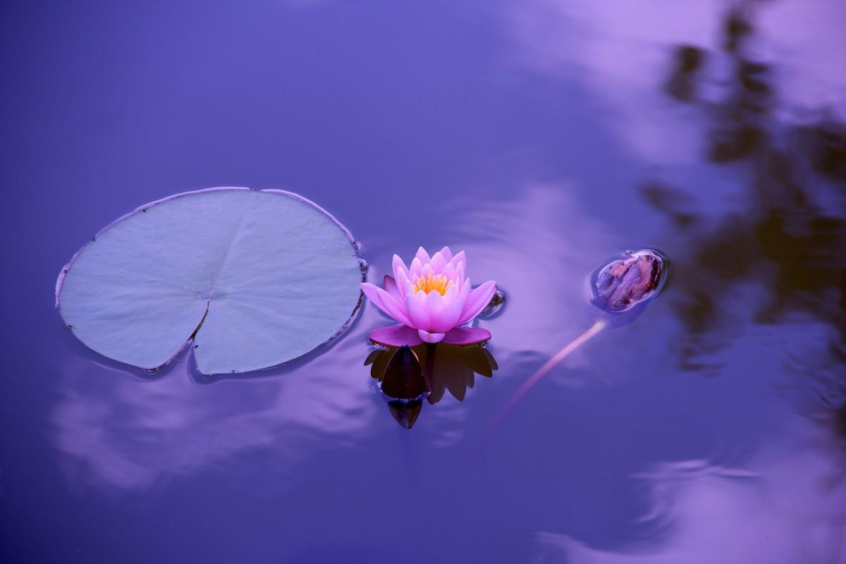 vatten, natur, blomma, växt, himmel, fotografi, solljus, blomma, kronblad, sommar, pollen, ung, reflexion, koppla av, balans, fredlig, naturlig, fred, utbildning, blå, rosa, livsstil, flora, hälsa, kondition, zen, avslappning, meditation, yoga, lotus, harmoni, skärmdump, andlighet, makrofotografering, placera, meditation natur, yoga meditation, yoga kvinna, jordens atmosfär, dator tapet, Bakgrundsbilder In PxHere