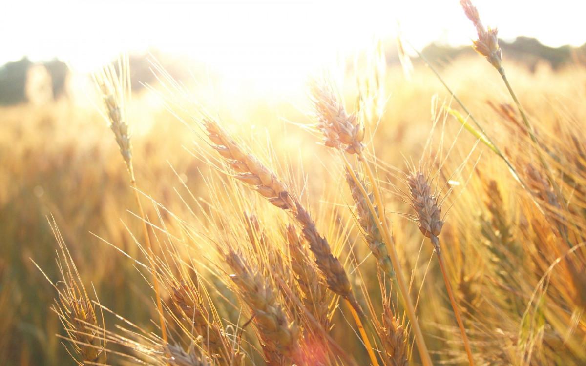 Картинки с пшеницей и рожью