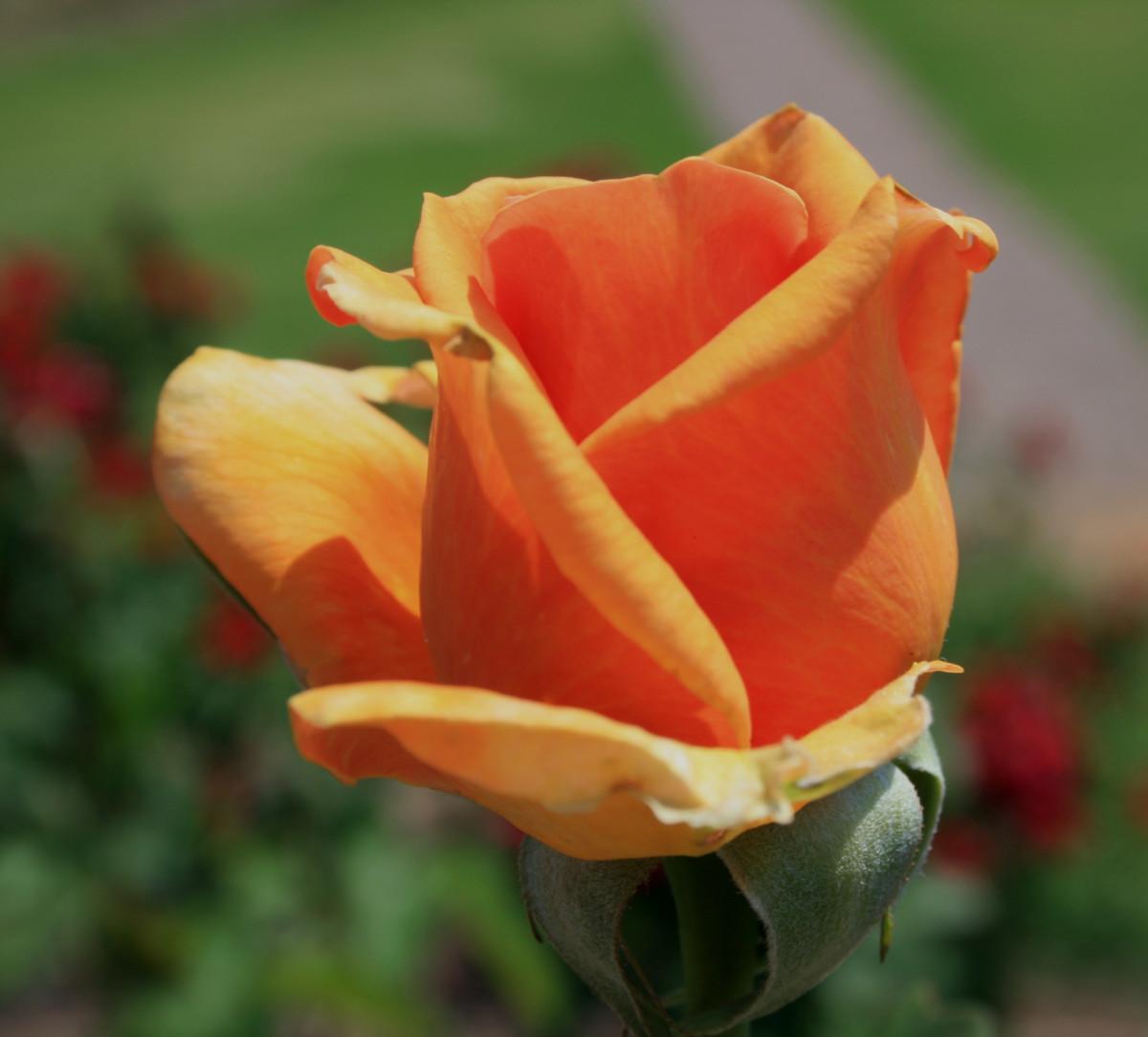 Garden Roses Flower Petal