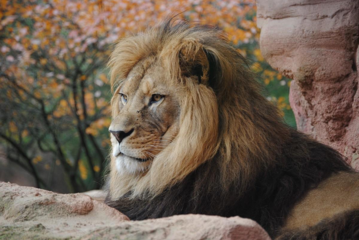 lion wild animal 4k animals zoo wildlife wallpapers predator fauna safari cats cat mammal outdoor hd recreation vertebrate mane adventure