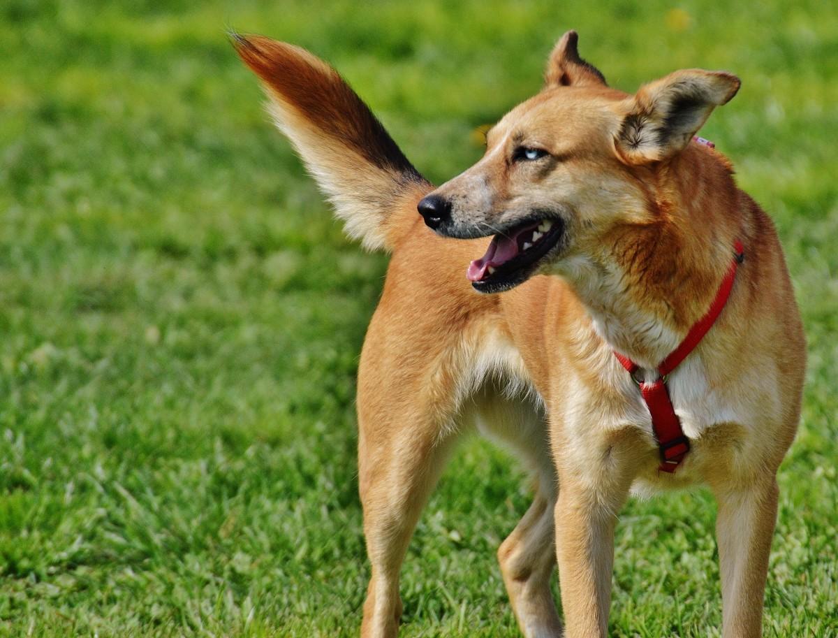 Free Images : wet, pet, fur, hunting dog, vertebrate ...