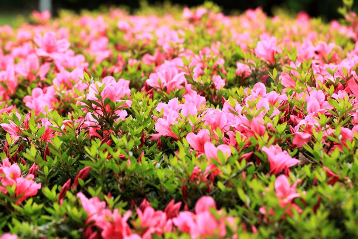 Fotos gratis paisaje naturaleza c sped prado verano pac fico parque chicago bot nica - Cesped japones fotos ...