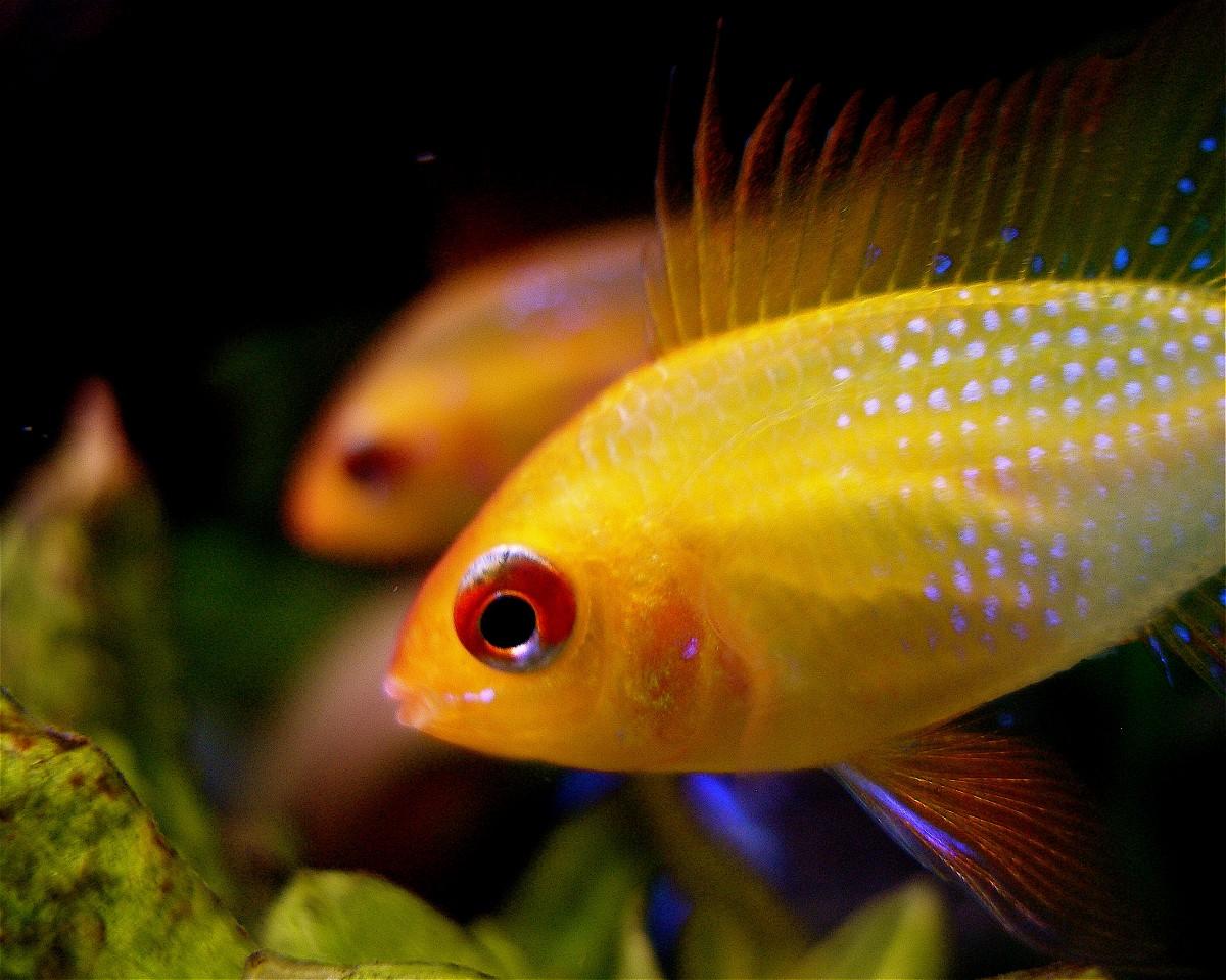 Clasificación-de-los-animales-ovíparos-peces
