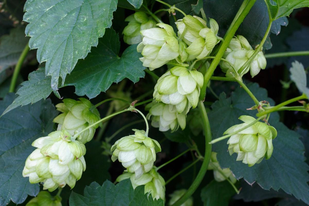 plante fleur aliments herbe produire botanique Bière de l'alcool arbuste Brasserie Houblon plante à fleurs Humulus lupulus Plante annuelle Plante terrestre