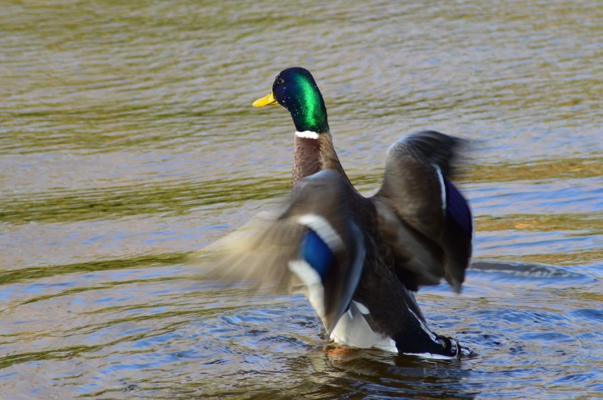 водоплавающие птицы юга финляндии фото и названия быстрее