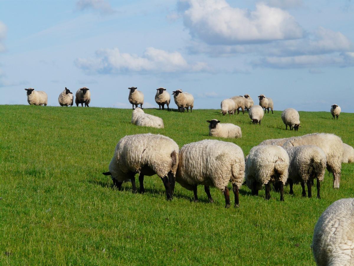 paysage, herbe, champ, Prairie, troupeau, pâturage, pâturage, mouton, Frais, mammifère, du repos, faune, troupeau de moutons, relaxation, prairie, vertébré, des moutons, idylle, la mer du Nord, zone rurale, se détendre, digue, Les moutons