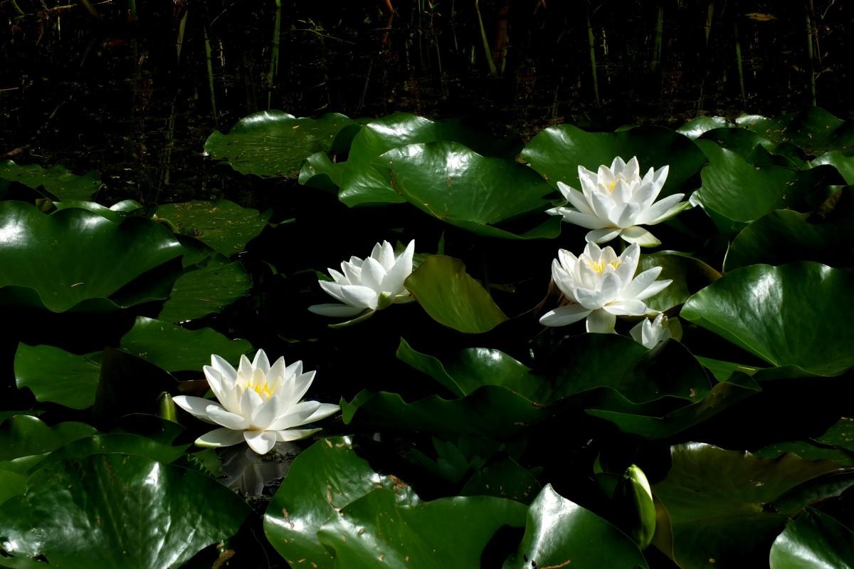 Free images summer pond wildlife love fruitful green partner nature blossom plant sunlight leaf flower izmirmasajfo Gallery