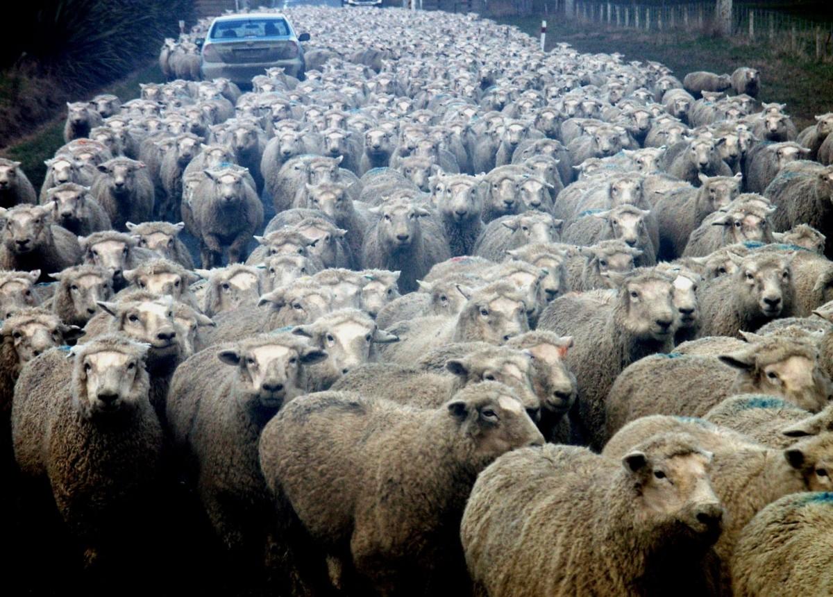 Images gratuites agriculture mouton mammif re - Photos de moutons gratuites ...