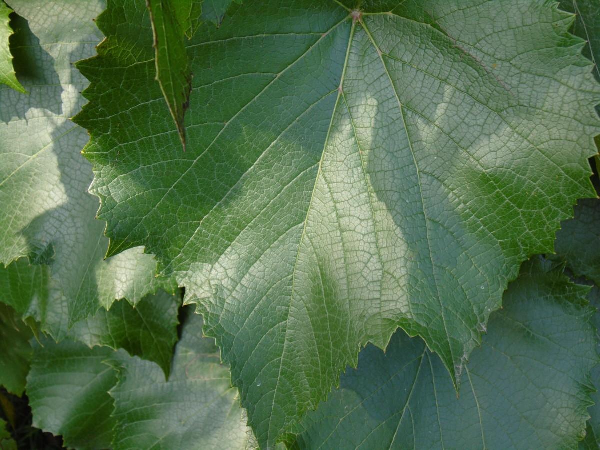 images gratuites arbre la nature feuille fleur aliments vert produire l 39 automne. Black Bedroom Furniture Sets. Home Design Ideas