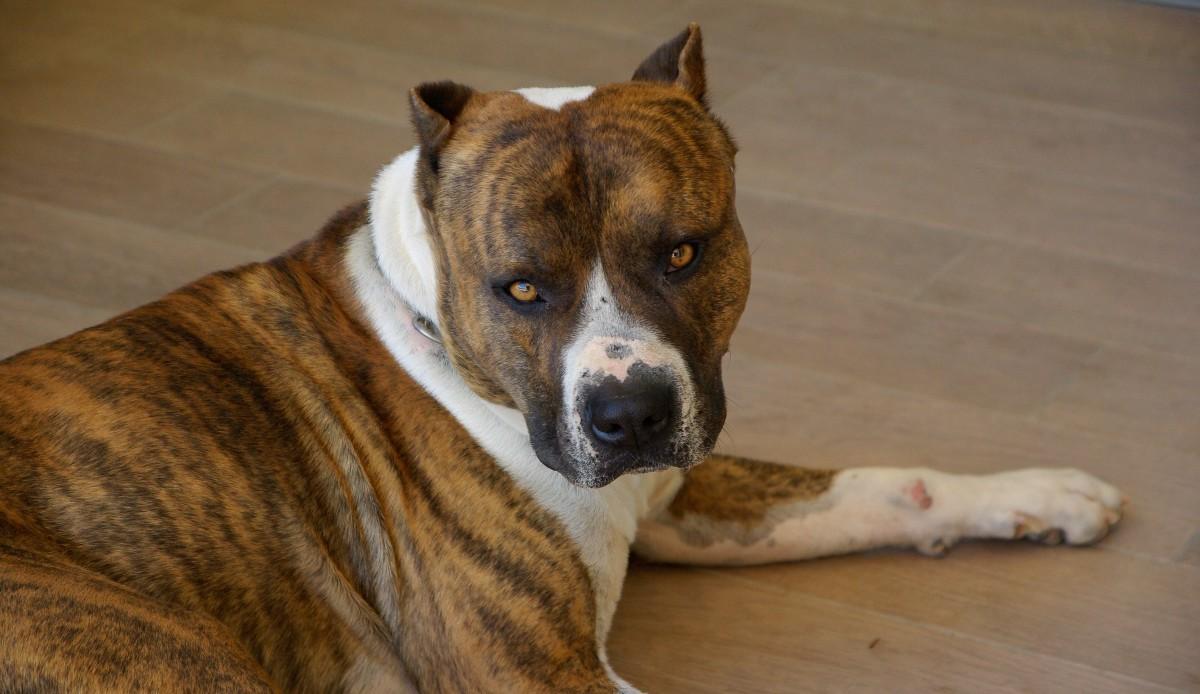 стаффордширский терьер это бойцовская собака