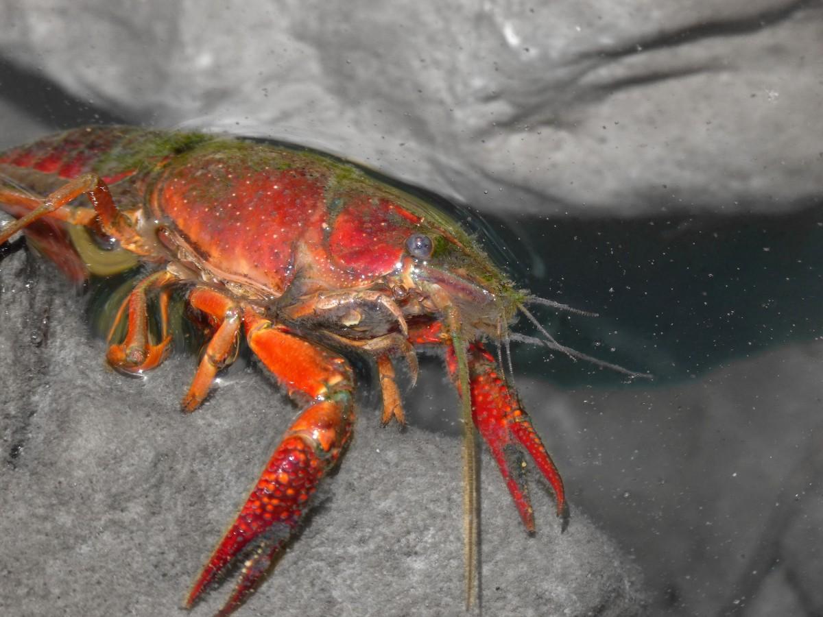 Gambar Sungai Makanan Laut Fauna Invertebrata Krustasea