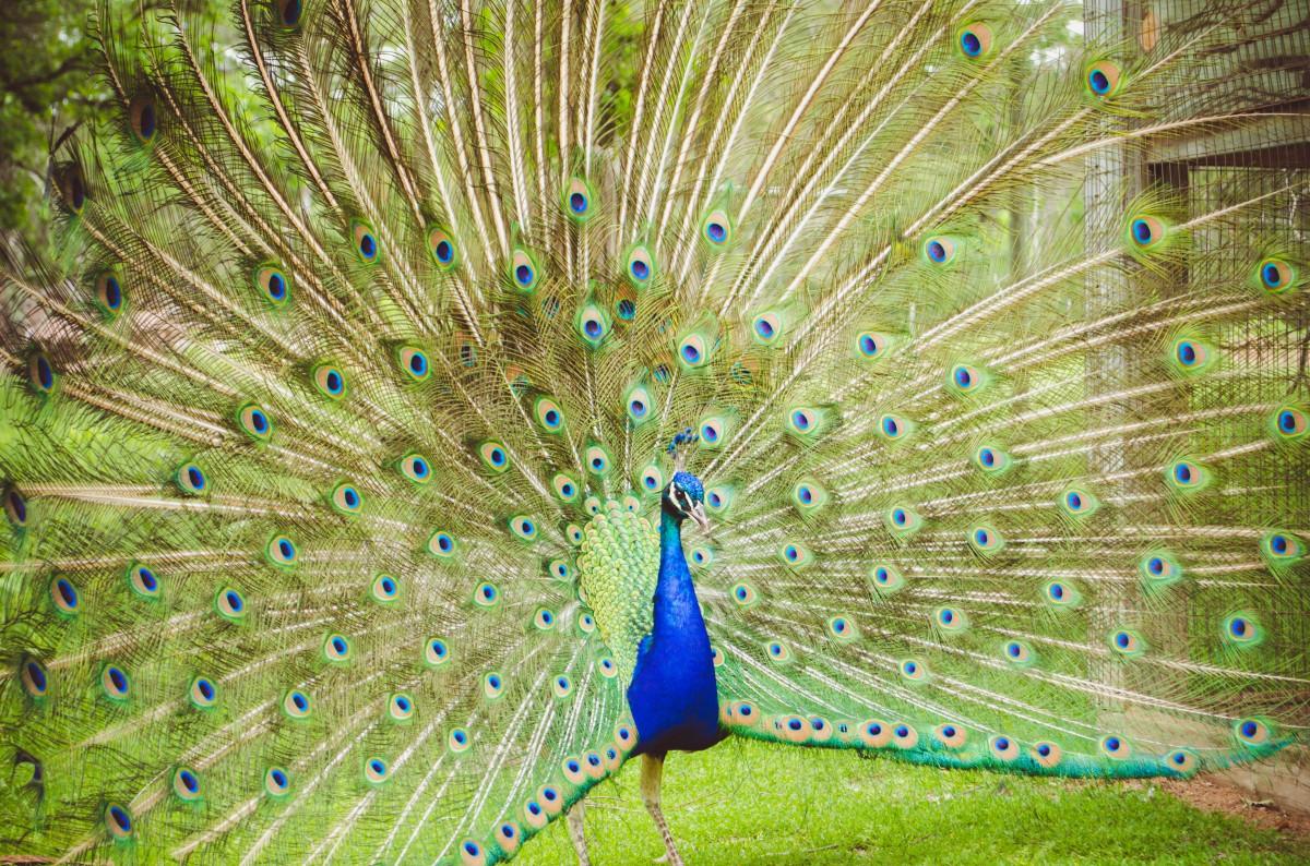 Фото цветка павлиний хвост