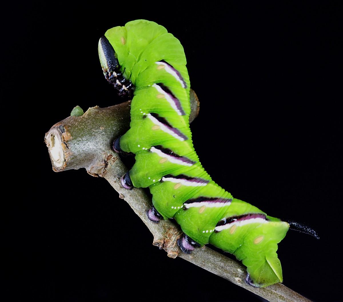 Images gratuites la nature vert insecte papillon de nuit jardin faune invert br - Insecte vert volant ...