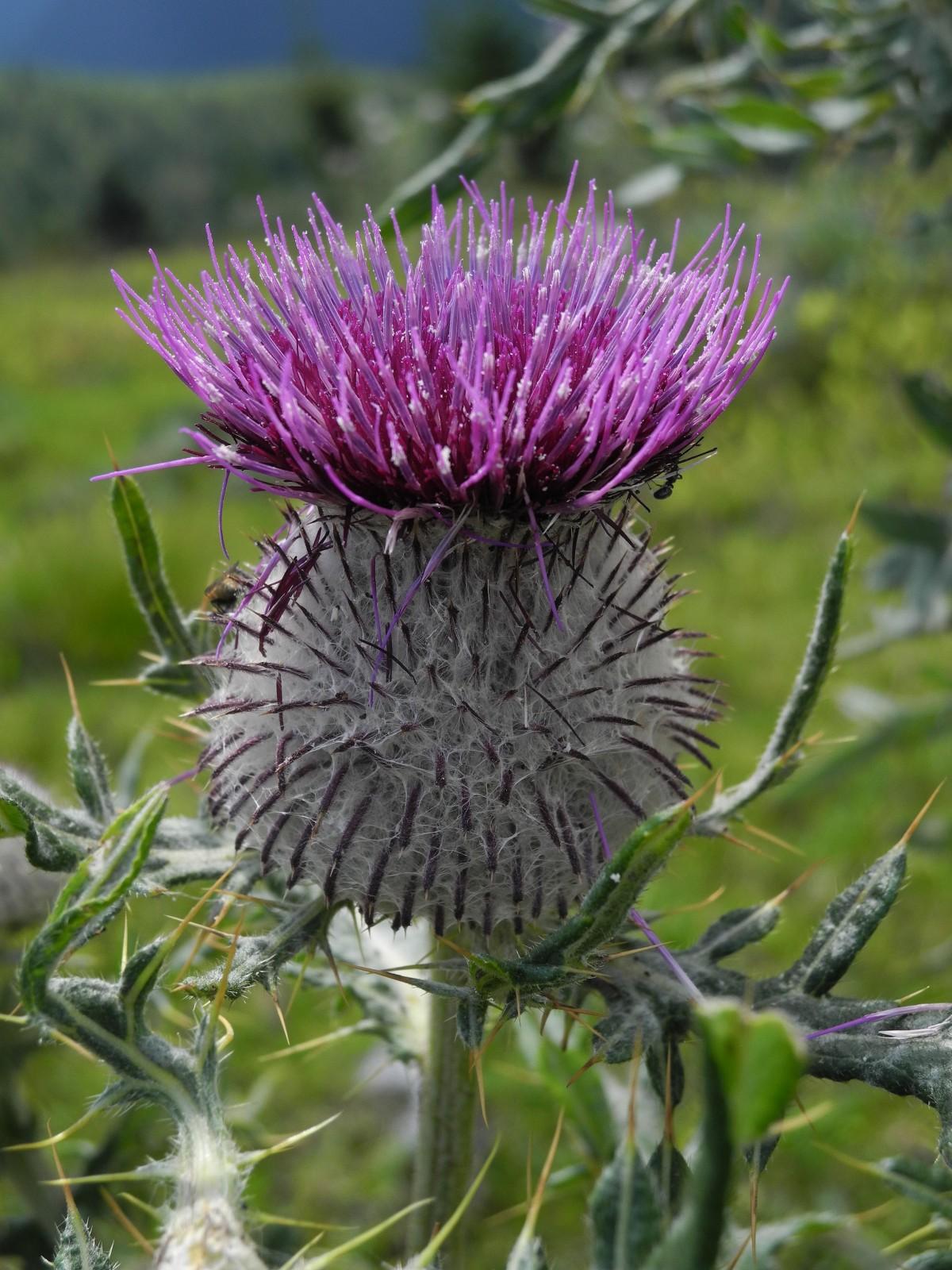 Gratis billeder natur blomst lilla fremstille for Plante whisky