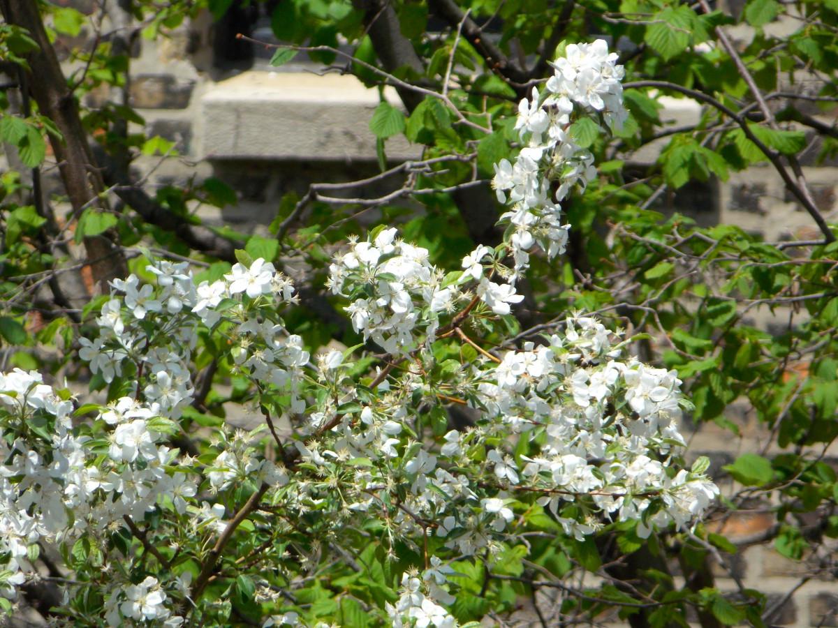 цветы барвинок красный фото