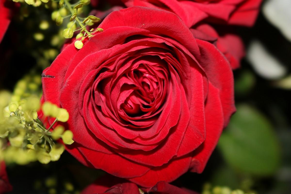 объявления две красные розы картинки дошла