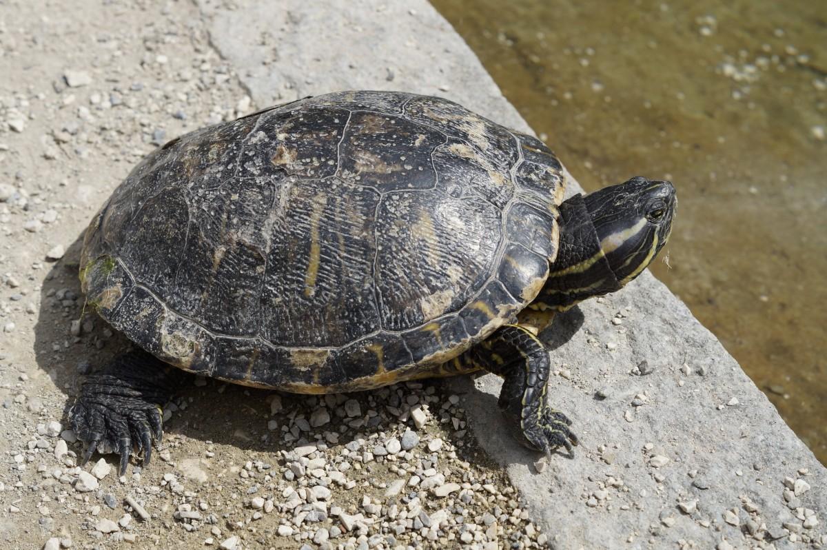 Immagini belle natura bianco e nero animale zoo for Stagno tartarughe