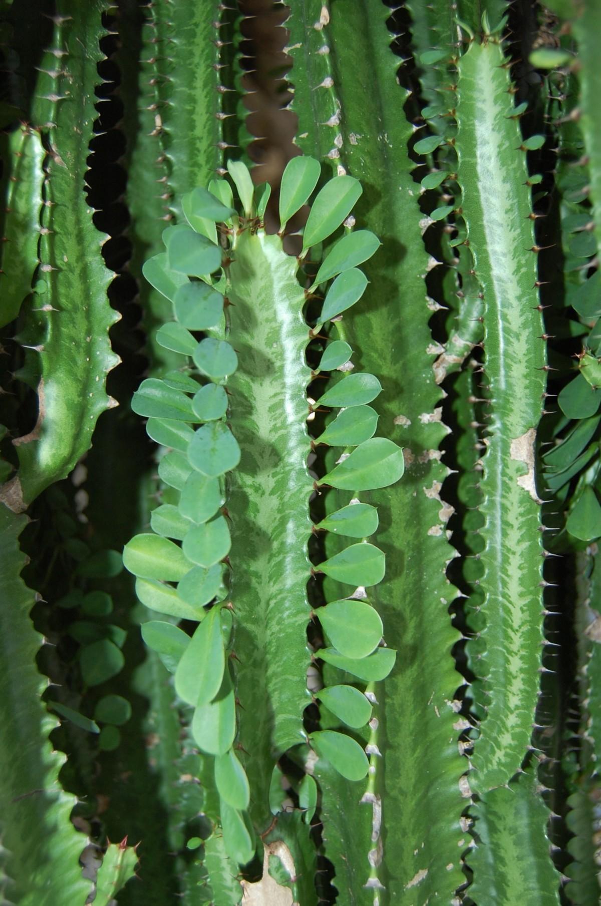piikikäs kaktus kasvi kukka kasvitiede kasvit kaktukset kasvi varsi land kasvi siili kaktus acanthocereus tetragonus San Pedro kaktus