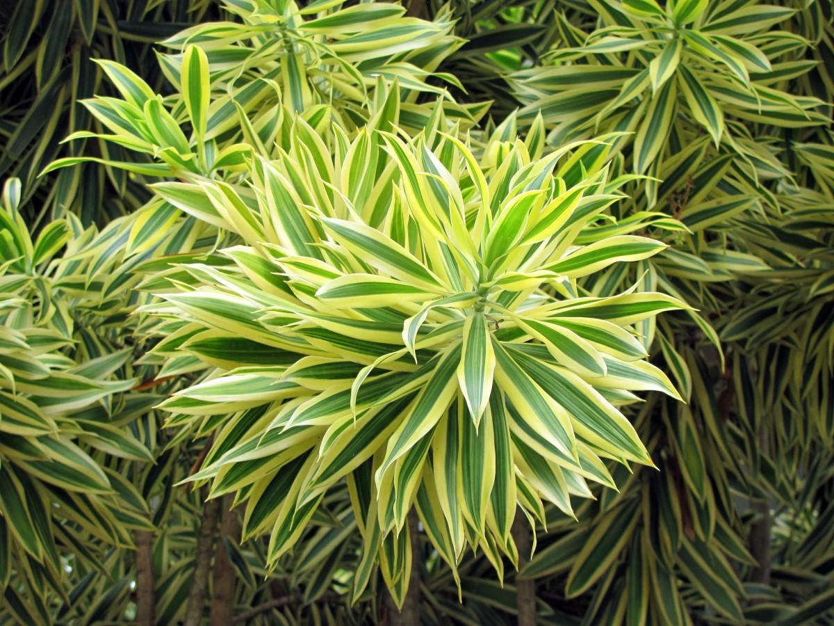 Garden Bush: Free Images : Tree, Nature, Branch, Leaf, Bush, Evergreen