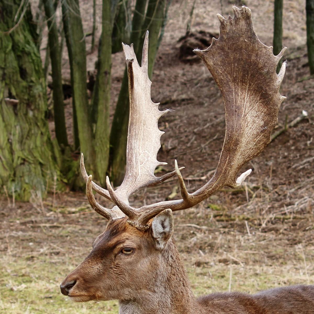 Enkelt horn hjort