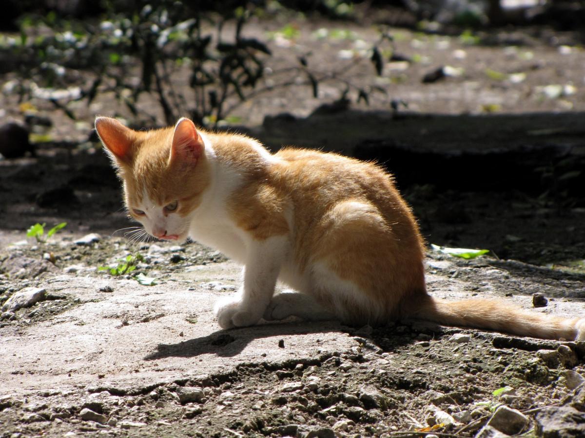 Free white cute fur orange young kitten feline