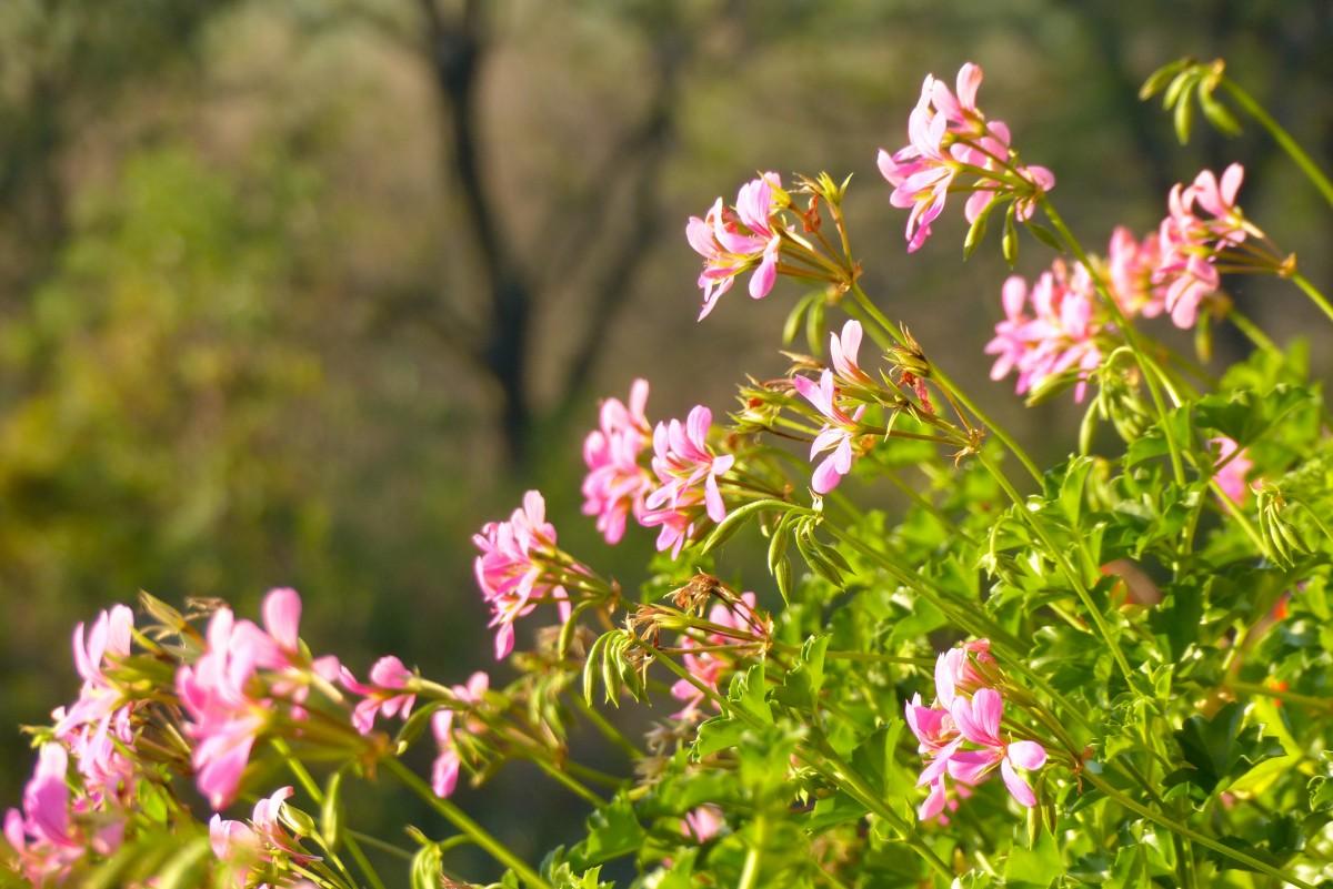 kostenlose foto natur gras bl hen wiese blume kraut botanik garten rosa flora. Black Bedroom Furniture Sets. Home Design Ideas