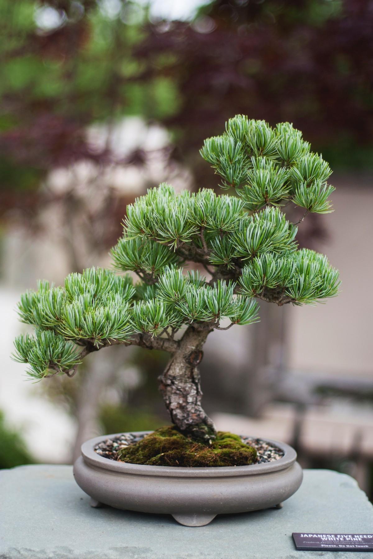 images gratuites arbre branche botanique plante d 39 appartement conif re pic a bonsa. Black Bedroom Furniture Sets. Home Design Ideas