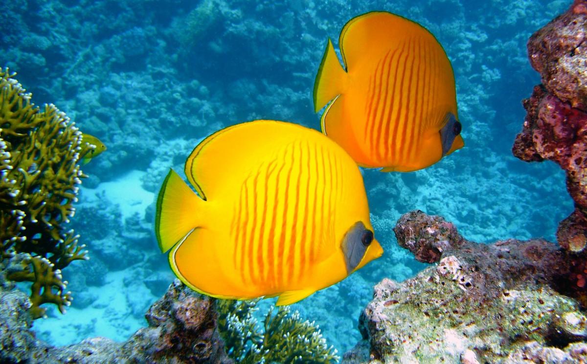 Underwater Tropical Fish Free Images : water, n...