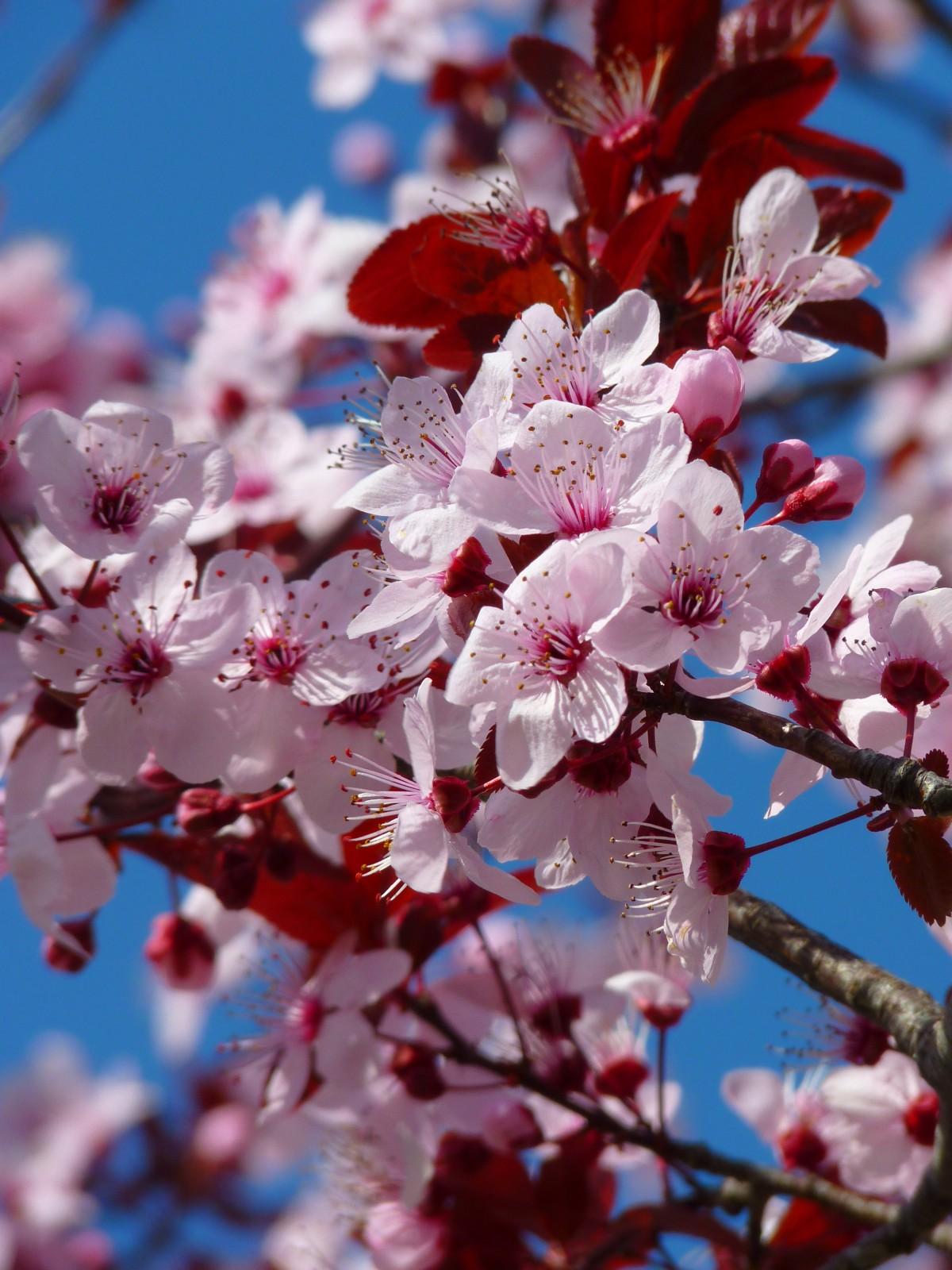 almond_blossom_cherry_blossom_japanese_cherry_trees_blossom_bloom_tree_pink_ornamental_cherry-1157029.jpg!d