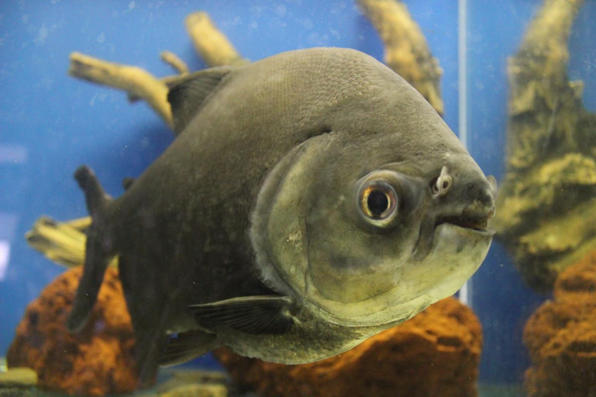 Free images water animal wildlife underwater scale for Predatory freshwater fish