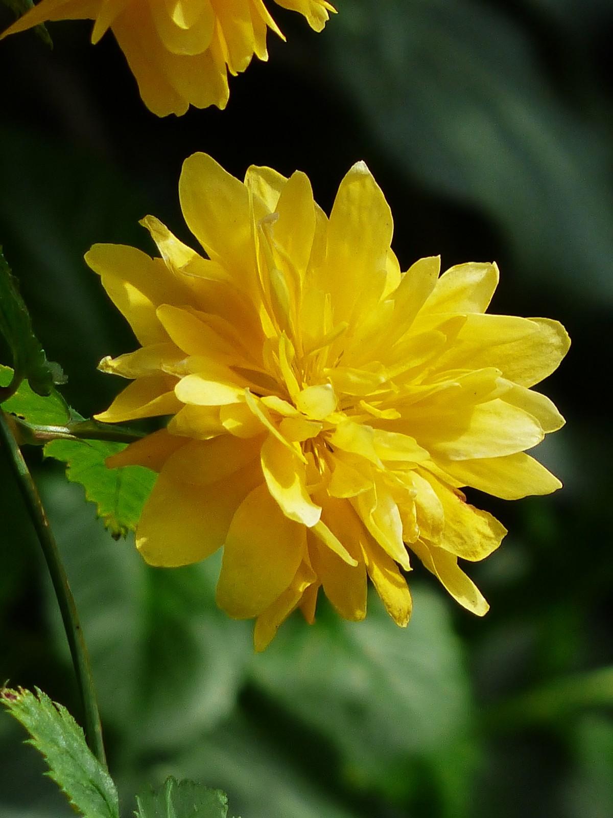 bunga amber