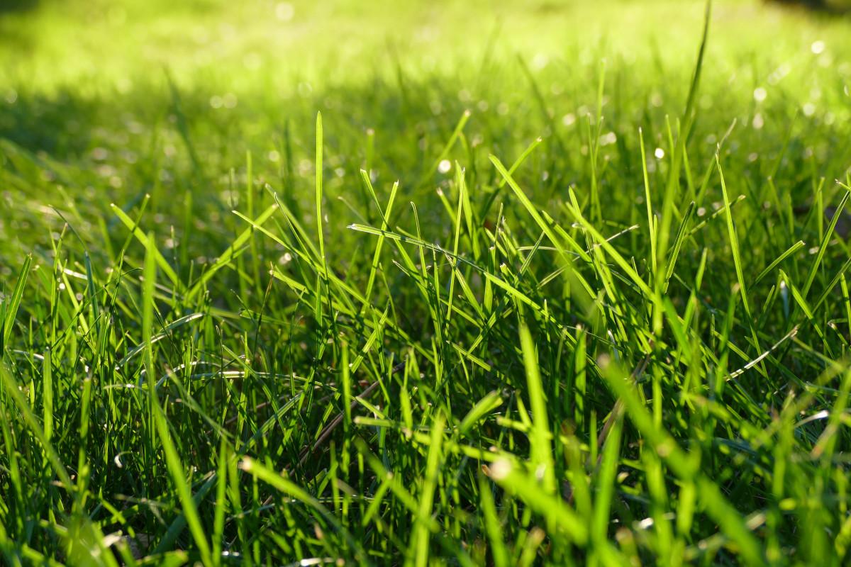 gazon pour pelouse