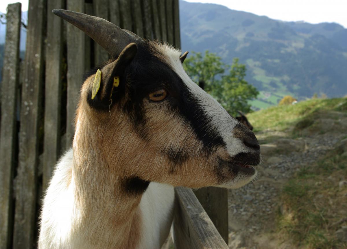 Free Images : kid, animal, cute, horn, pet, pasture ...