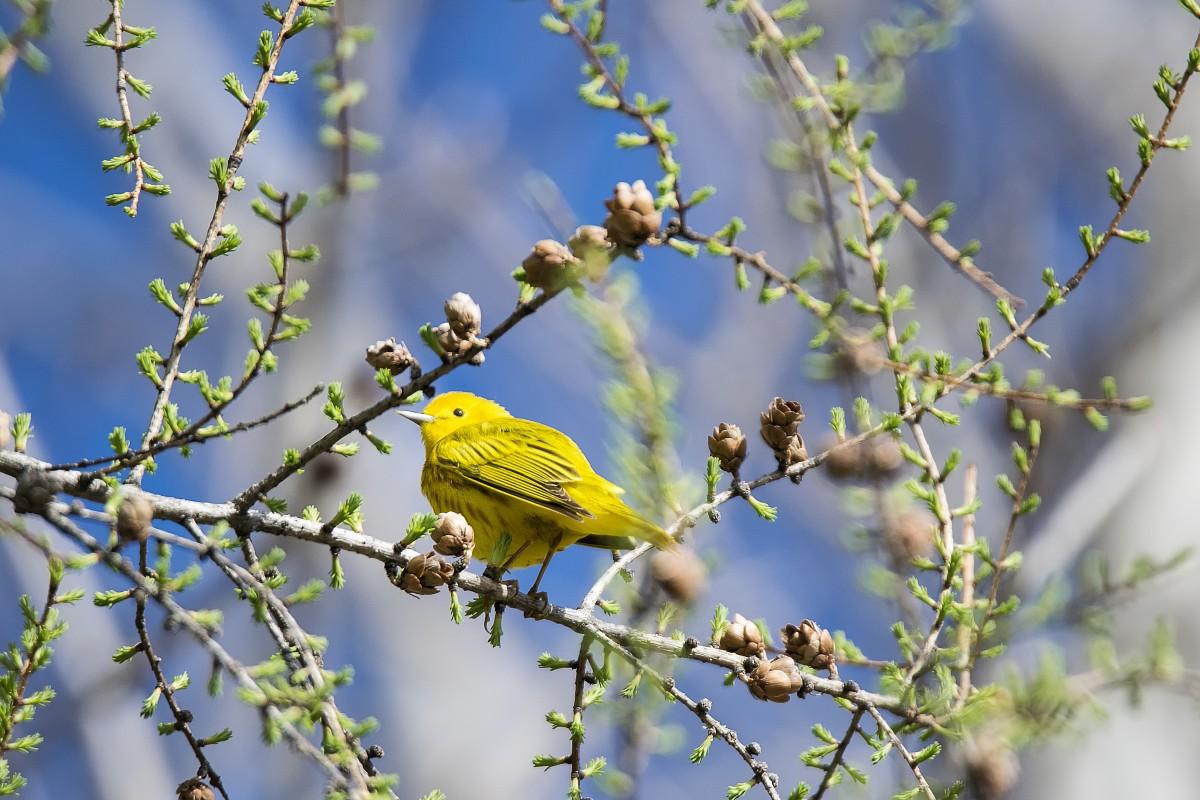 Images gratuites arbre la nature branche fleur oiseau plante feuille faune printemps - Taille du pecher au printemps ...
