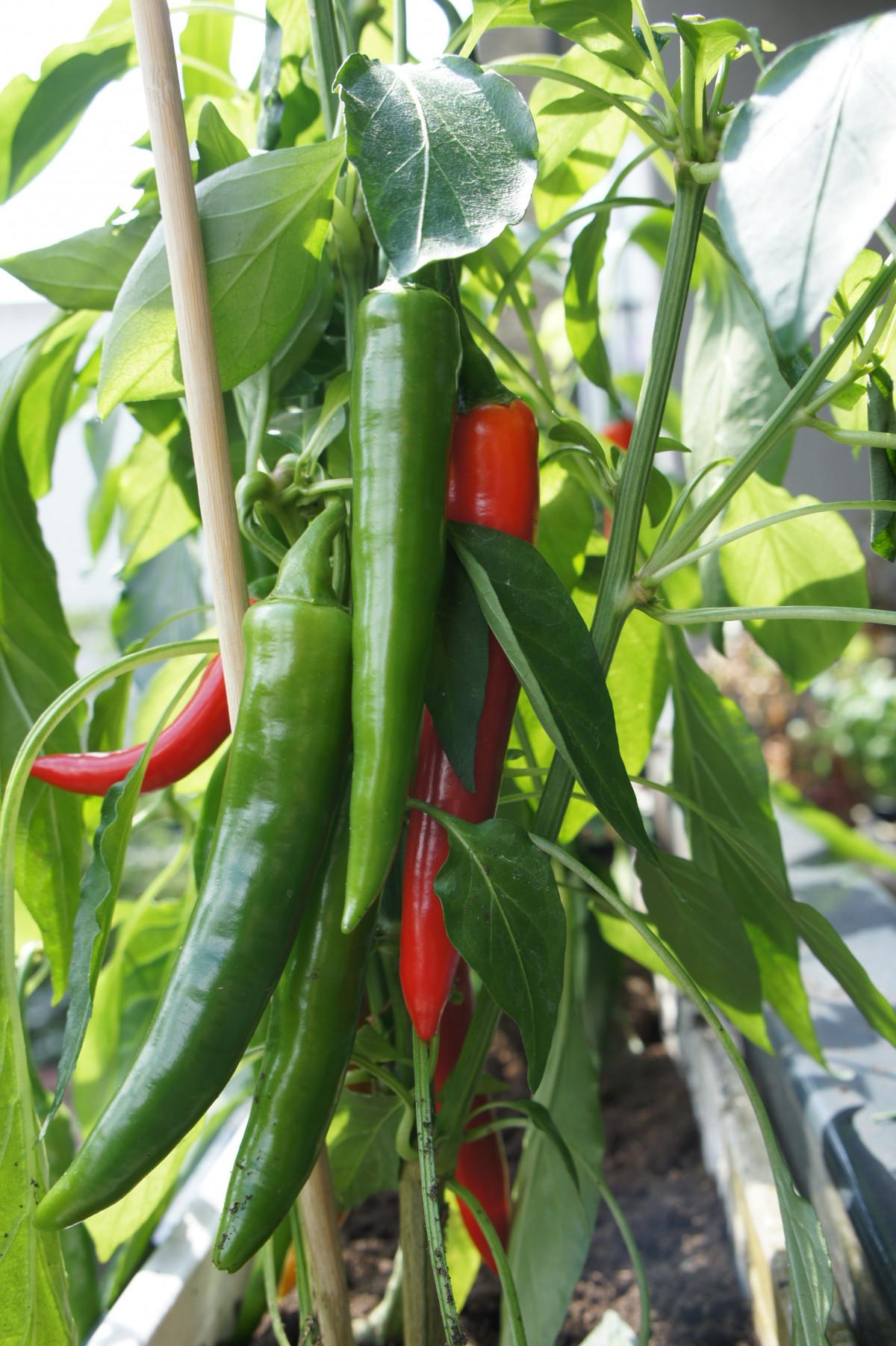 Fotos gratis campo fruta flor comida produce for Planta de chile
