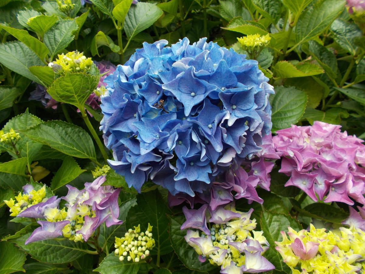 Цветы для сада гортензия
