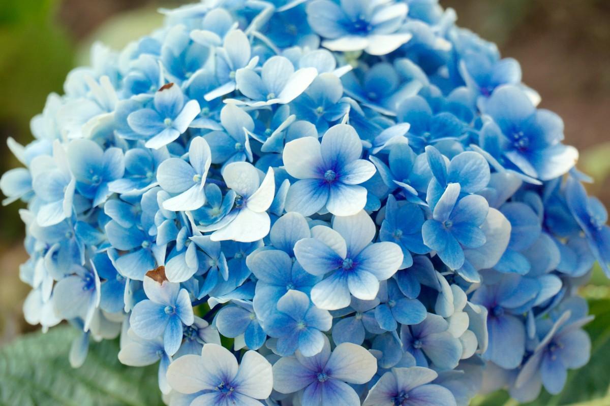 Голубые цветы в картинках