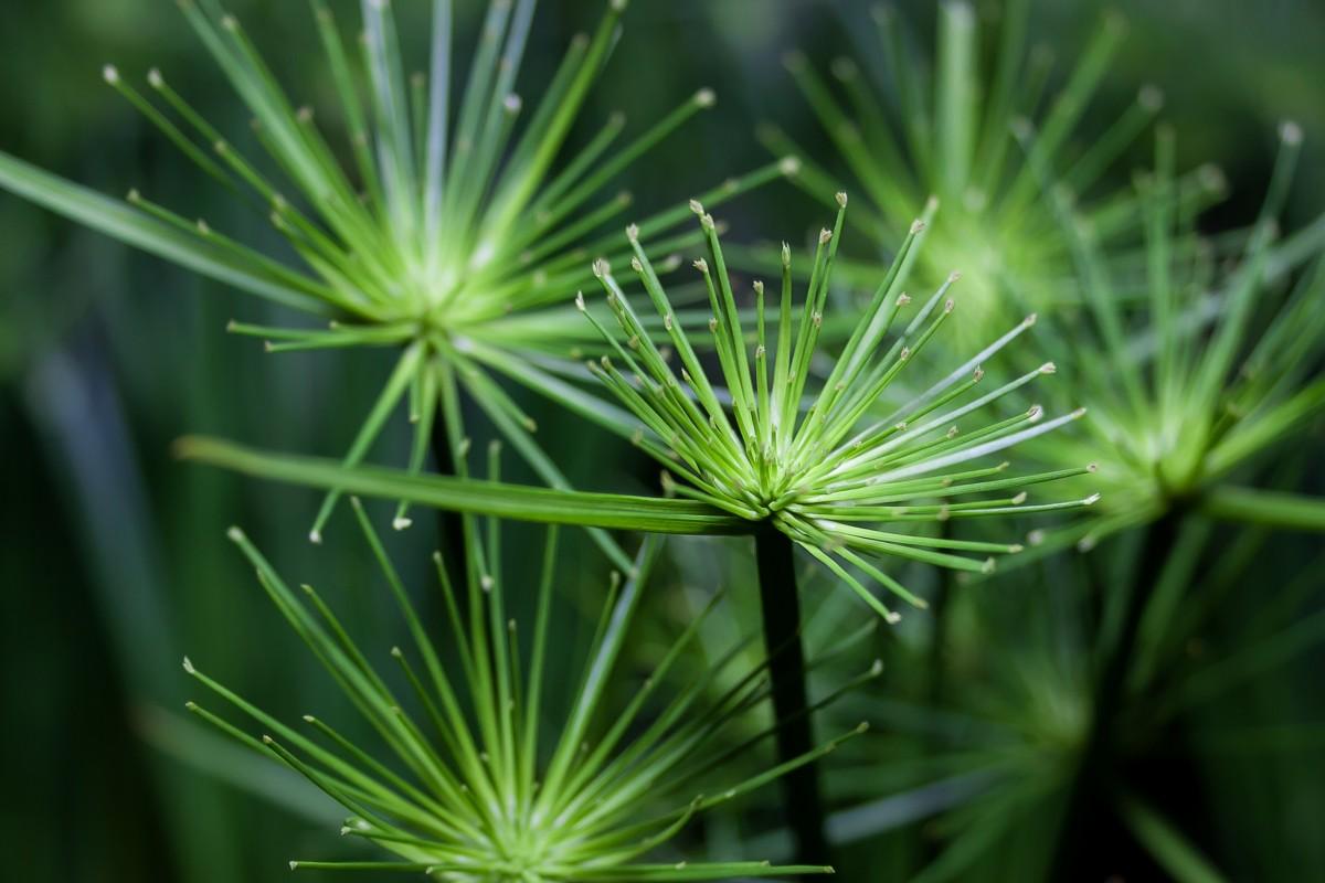 無料画像 : 木, 自然, 工場, タンポポ, 葉, 咲く, 植物学, 閉じる, フローラ, ワイルドフラワー, 緑の植物, パピルス, マクロ撮影, 開花植物, サイペラス, 草家, 植物の茎, 陸上植物, アセスメント 2742x1828 - - 899379 - 無料写真- PxHere
