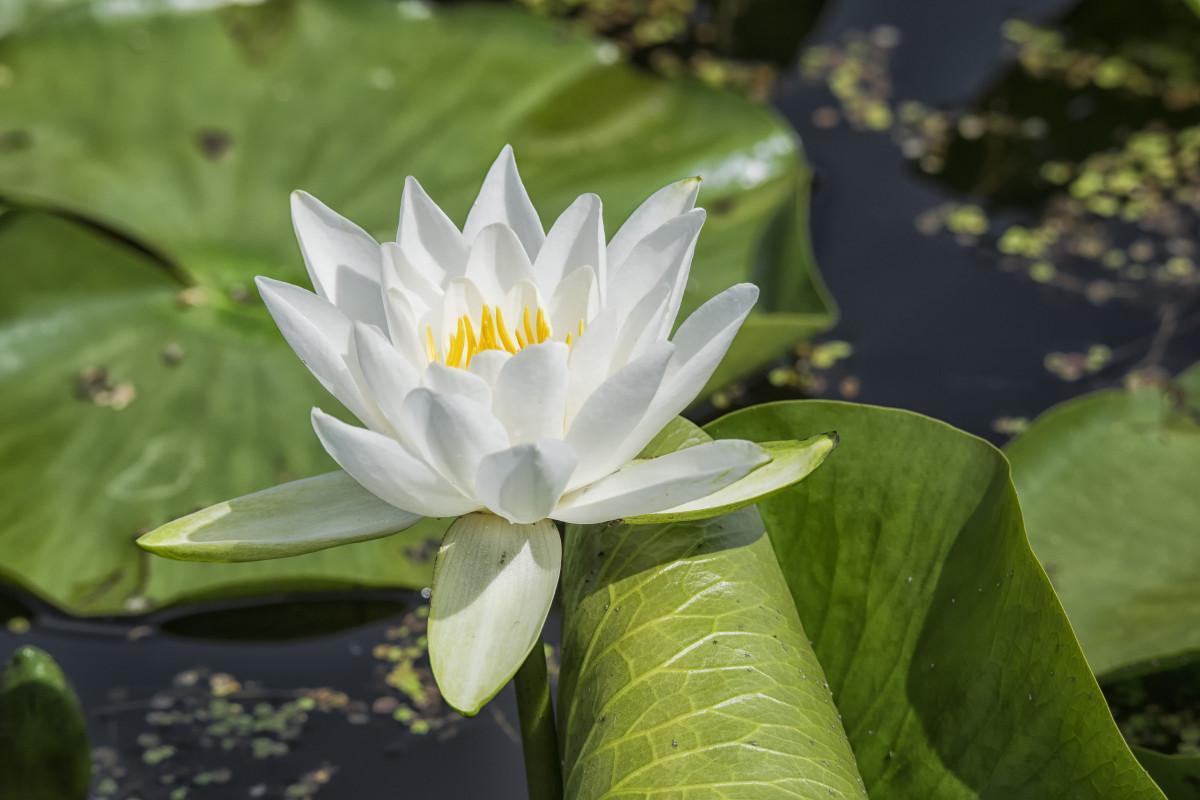 images gratuites la nature fleur feuille p tale vert botanique jaune jardin lotus. Black Bedroom Furniture Sets. Home Design Ideas