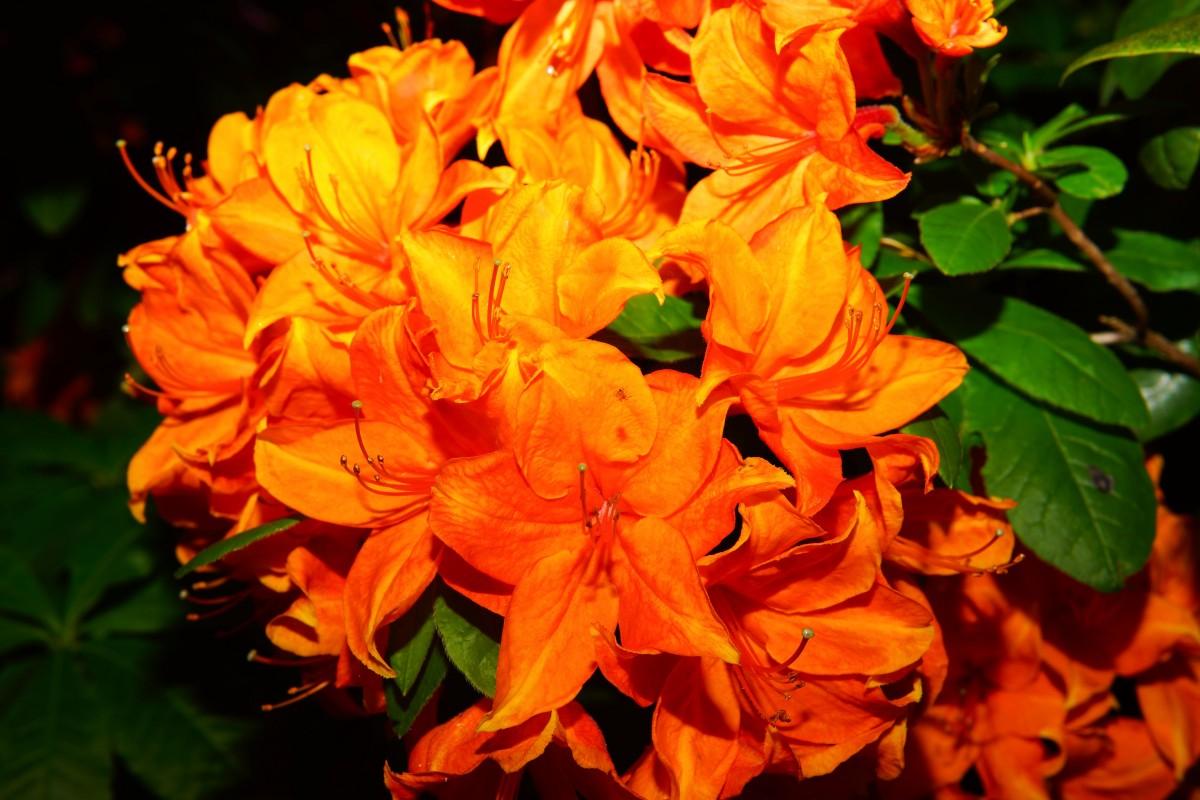 images gratuites fleur t buisson printemps