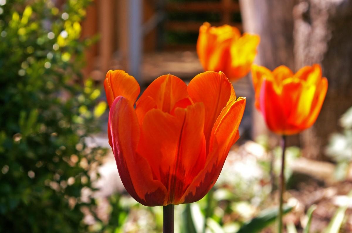 Gratis afbeeldingen natuur bloesem open fabriek for Tulipani arancioni