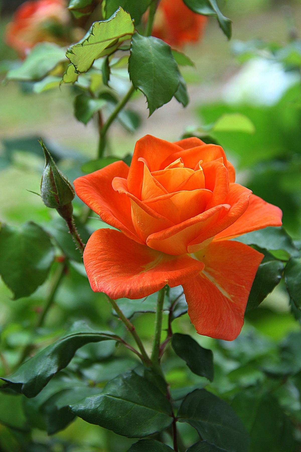 images gratuites fleur p tale orange rouge botanique flore floribunda plante fleurs. Black Bedroom Furniture Sets. Home Design Ideas