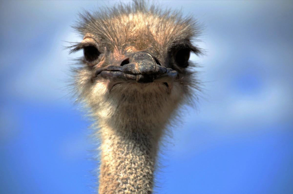 Открытки страуса
