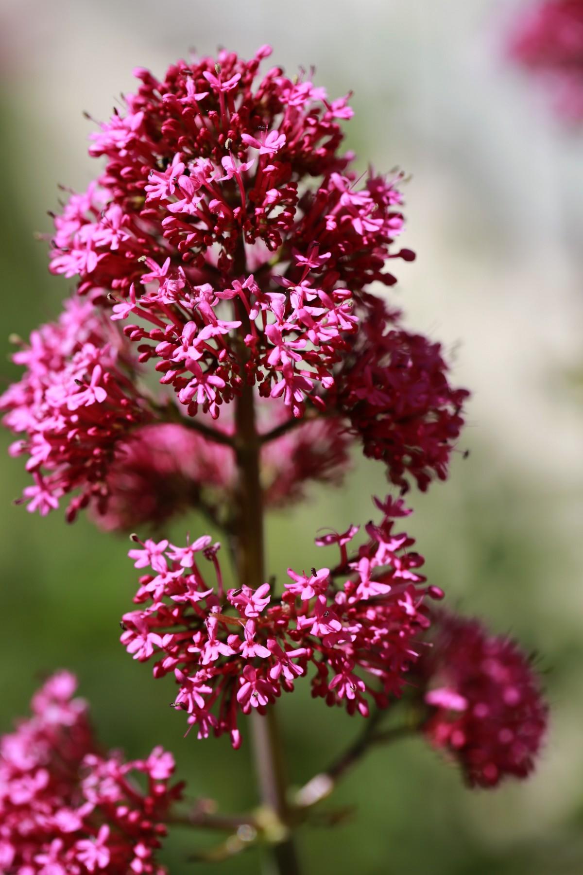 Images Gratuites : fleur, Prairie, France, L'Europe , botanique, flore, Fleur sauvage, Midi ...