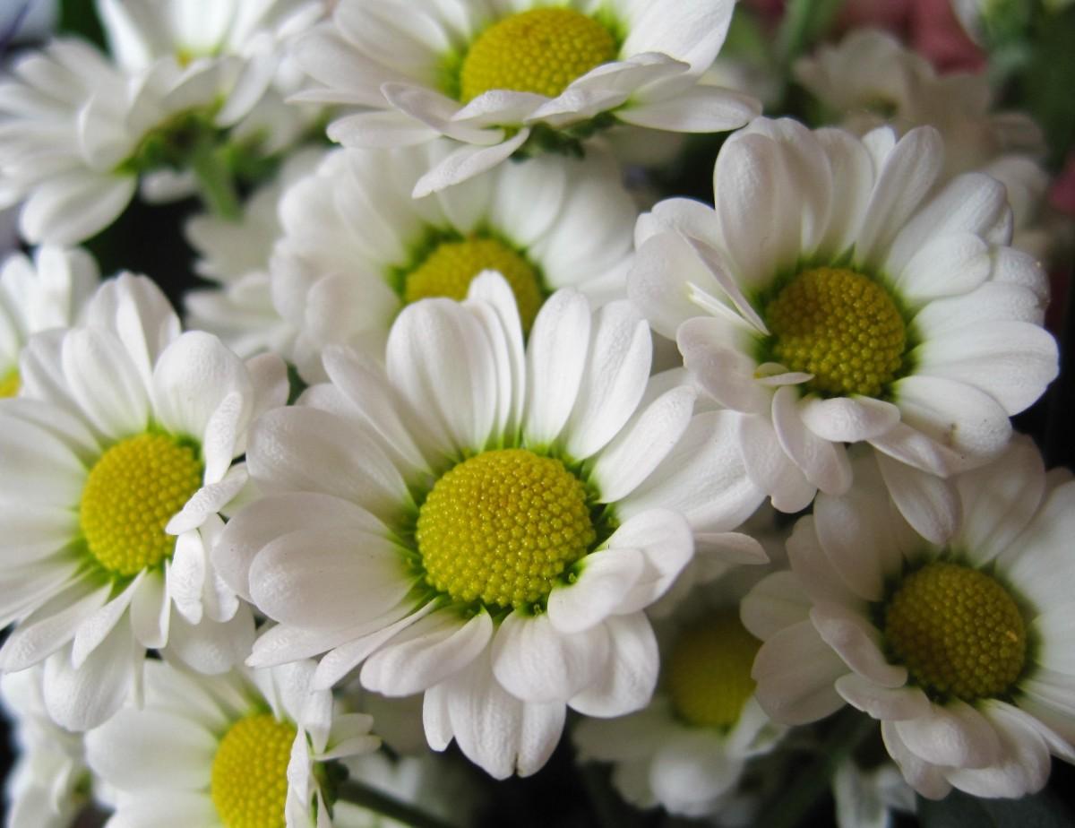 Free images petal color botany colorful flora for Bouquet fleurs blanches