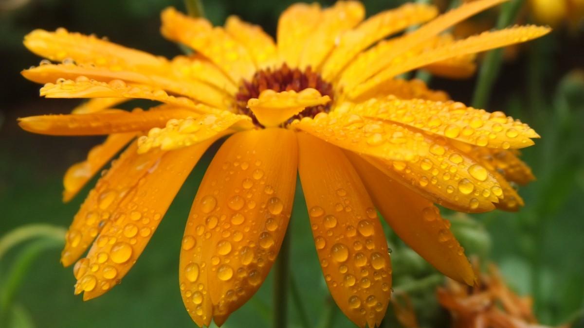 images gratuites feuille fleur goutte de pluie l 39 automne botanique flore fleur sauvage. Black Bedroom Furniture Sets. Home Design Ideas