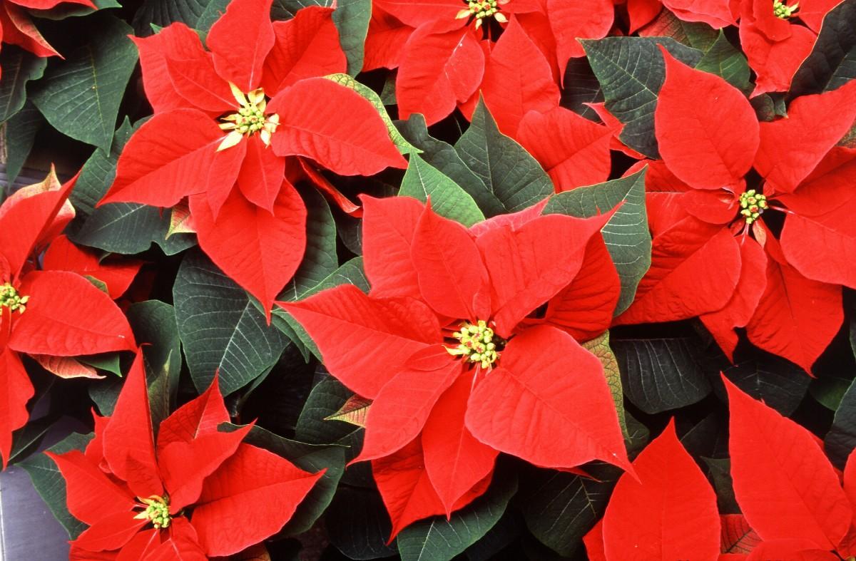 Рождественские цветы и названия