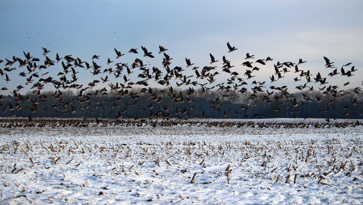 К чему снится стая птиц согласно украинскому снотолкователю: когда их преимущественно большое число, и они издают громкие звуки – ждите войны.