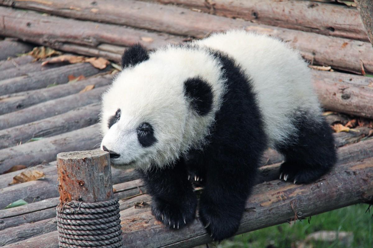 images gratuites la nature ours faune zoo mammif re asie en voie de disparition. Black Bedroom Furniture Sets. Home Design Ideas